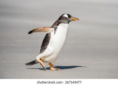 Gentoo penguin runs over the sand