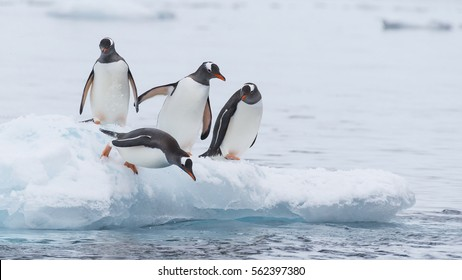 Gentoo Penguin runs over the snow in Antarctica