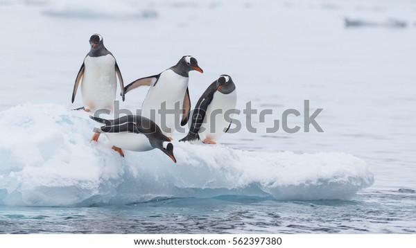 Gentoo Penguin runs over the snow in Antarctica