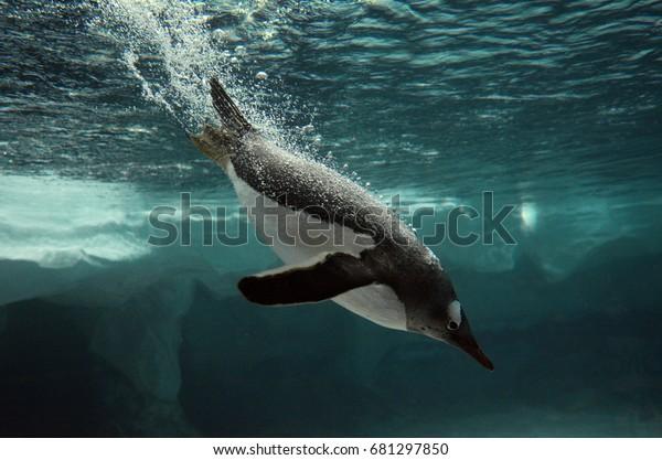 Gentoo penguin swimming underwater in the Arctic ocean.