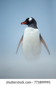 Gentoo penguin walking on a coast on a windy day. Sand blowing on a beach in Falkland islands.