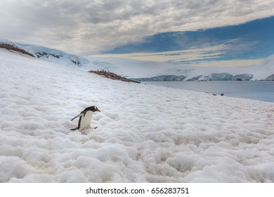 Gentoo penguin walking through the snow -  Antarctic peninsula