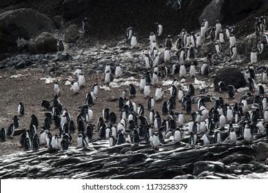 Gentoo Penguin,Hannah Point, Antartica