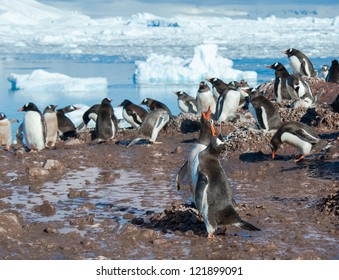 Gentoo penguins colony singing on the beach