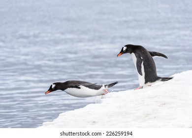 Gentoo penguins dive from the ice rock into the water
