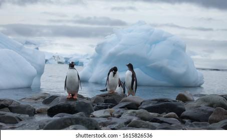 Gentoo penguins in front of an ice berg filled bay in Antarctica
