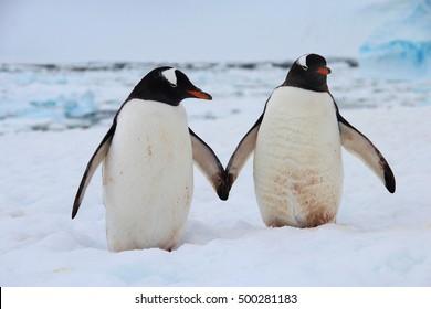 Gentoo penguins holding hands, Antarctica