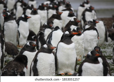 gentoo penguins individual in crowd