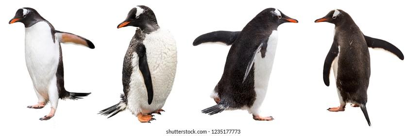Gentoo penguins. isolated on white background
