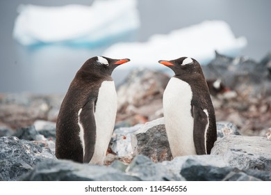 Gentoo penguins looking in the mirror on the Antarctica beach