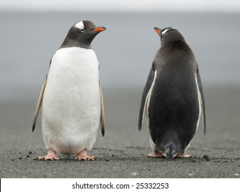Gentoo penguins looking in opposite directions