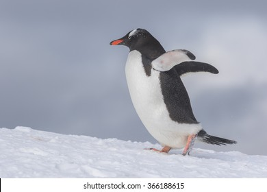 Gentoo Penguins on Icebergï¼?antarcticã??