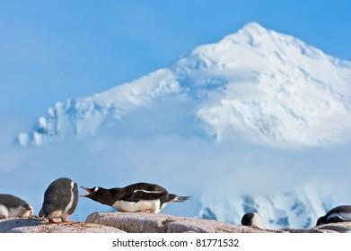 Gentoo Penguins on rock near Port Lockroy, Antarctica