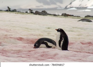 Gentoo penguins on snow red with algae in Antarctica