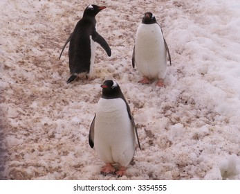 Gentoo penguins on their frozen way