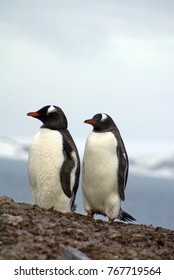 Gentoo penguins on top of a hill in Antarctica