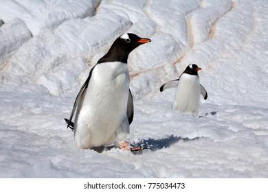 Gentoo penguins (Pygoscelis papua) on Danko Island on the Antarctic Peninsula in Antarctica
