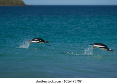 Gentoo Penguins (Pygoscelis papua) swimming in the sea off the coast of Bleaker Island in the Falkland Islands.