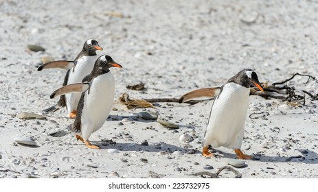 Gentoo penguins run on the sand