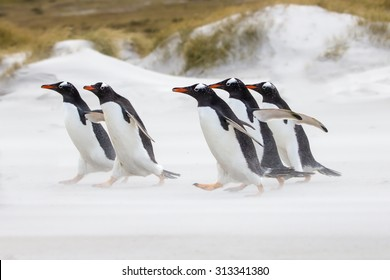 Gentoo Penguins running towards the sea. Falkland Islands.