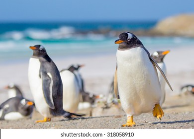 Gentoo Penguins, Volunteer Point, East Falkland, Falkland Islands.