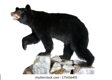 A Genuine Stuffed North American Black Bear AKA Ursus Americanus standing on rocks. Isolated on white with room for your text. Black Bears are they are on the official flag of California