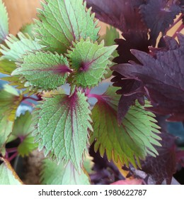 Coleusis a genus of annual or perennial herbs or shrubs, sometimes succulent, sometimes with a fleshy or tuberous rootstock, found in the Old World tropics and subtropics. - Shutterstock ID 1980622787