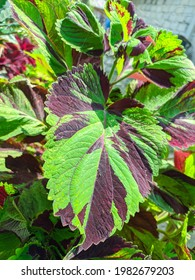 Coleusis a genus of annual or perennial herbs or shrubs, sometimes succulent, sometimes with a fleshy or tuberous rootstock, found in the Old World tropics and subtropics. - Shutterstock ID 1982679203