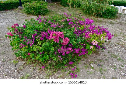 The genus Bougainvillea, known by the common names of Trinitaria, Bugambilia, Napoleon, Veranera and Santa Rita, is a genus of flowers native to the humid tropical forests of South America.