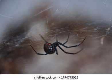 The genus Latrodectus includes 22 black widow species distributed in all continents but antartica. This western black widow, L. hesperus, is rather common in the western US.