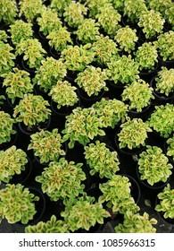 genus of perennial plants