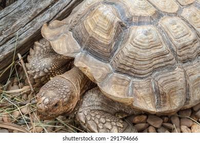 Geochelone sulcata. African Turtle Spurs.