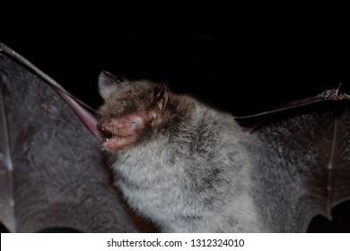 Geoffroy's bat Myotis emarginatus,  species of vesper bat. Flying bat