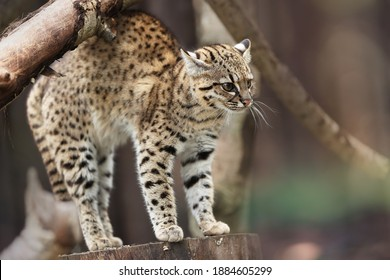 Geoffroy's cat, Leopardus geoffroyi, wild cat native to the South America. Nocturnal and a solitary  south american cat. Animal in captivity.