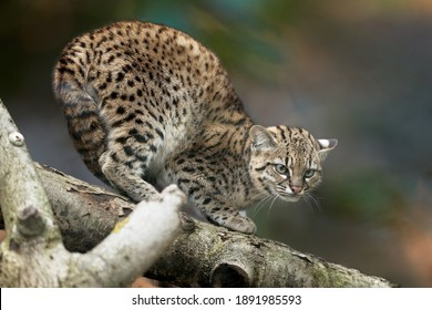 Geoffroy's cat, Leopardus geoffroyi, a wild cat native to South America on a branch against abstract background. Threatening posture, ears down. Night and lonely South American cat.