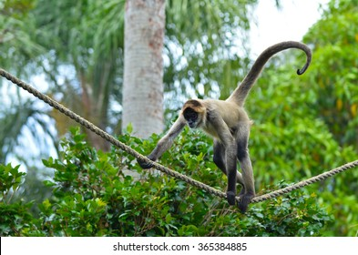 Geoffroy's spider monkey (Ateles geoffroyi) play on a rope. It live in tropical forests of Central and South America, from southern Mexico to Brazil. Spider monkey is endangered animal