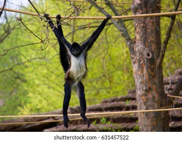 Geoffroy's spider monkey (Ateles geoffroyi), also known as the black-handed spider monkey, is a species of spider monkey.