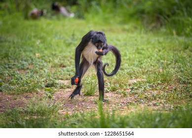 Geoffroy's Spider Monkey eating. This primate is also referred to as black-handed spider monkey or Ateles geoffroyi.