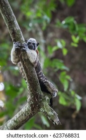 Geoffroy's tamarin on the tree