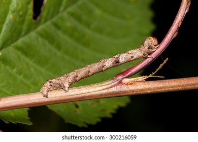 Geometer moth caterpillar mimicry on small branch