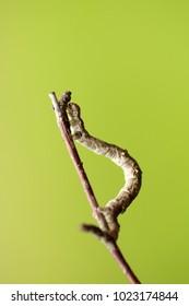 Geometer moths, caterpillar