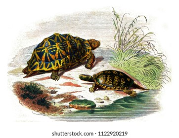 The geometric turtle, The yellow turtle, vintage engraved illustration. Natural History from Lacepede.