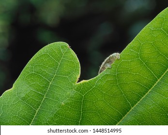 Geometrid  caterpillar (looper or inchworm) hiding behind a green leaf with just rear prolegs showing
