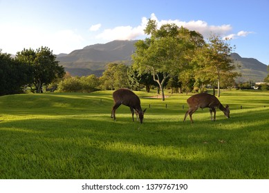 George Golf Course with buck and the Outeniqua Mountains in the background, South Africa