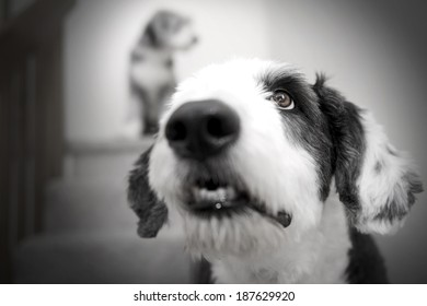 George (Old English Sheepdog) and Momo (Bearded Collie)...Very shallow depth of field with focus on Georges eye...Momo in the background.