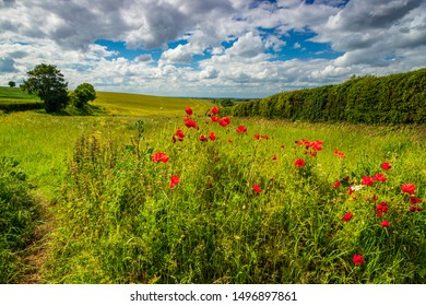 George Orwell country, June poppies in the countryside around Wallington in Hertfordshire east England.