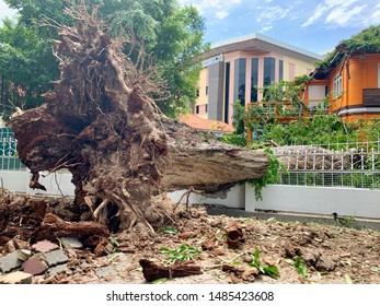 Georgetown, Penang/Malaysia - Aug 10 2019: Giant old tree uprooted by the storm night before damages nearby building compound