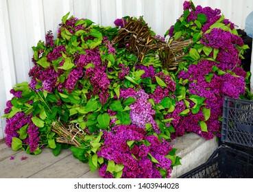 georgia, fresh Lilac Floers, Syringa vulgaris