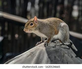 Georgia Squirrel on Back Porch Balcony in Atlanta Neighborhood Winter 2020