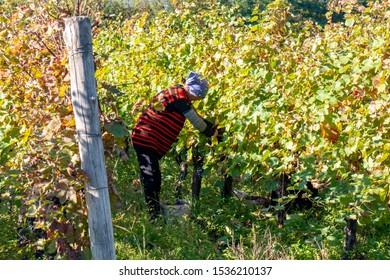 Georgia, Telavi - 07.10.2019: Vineyards of wine area of Georgia Kakheti, Telavi wineyards, rtveli in Kakheti, Caucasus. Agriculture.